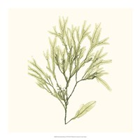 Seaweed Collection VII Fine-Art Print
