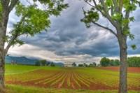 dillow corn field Fine-Art Print