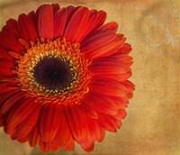 Gerber Daisy Fine-Art Print