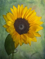 Yellow Sunflower Fine-Art Print
