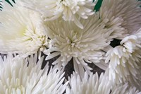 Blooming White Fine-Art Print