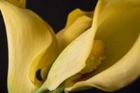 Calla Lillies I Fine-Art Print