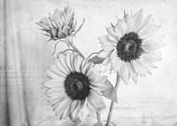Sunflowers2 BW Fine-Art Print