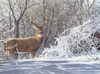 Winter Whitetail Fine-Art Print