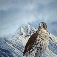 Gyr Falcon Fine-Art Print
