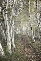 Birch Trail Fine-Art Print