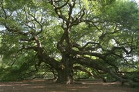 Angel Oak 9098 Fine-Art Print
