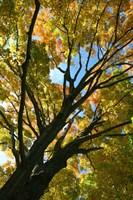 Autumn Maple Vertical Fine-Art Print