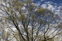 Spring Branches Clouds Fine-Art Print