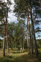 Pine Path Vertical Fine-Art Print