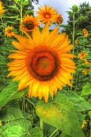 August Sunflowers Fine-Art Print