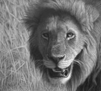 Lion In The Massai Mara Fine-Art Print