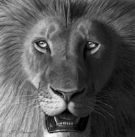 Lion In The Morning Light Fine-Art Print