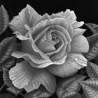 Rose and Raindrops Fine-Art Print