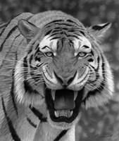 Tiger Growling Fine-Art Print
