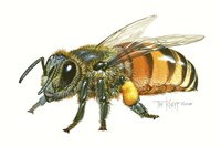 Honey Bee Fine-Art Print