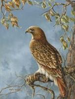 Retail Hawk Fine-Art Print