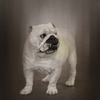 Quiet Observer Bulldog Puppy Fine-Art Print