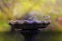 Finches On The Bird Bath Fine-Art Print
