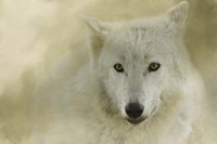 Portrait Of A Timber Wolf Fine-Art Print