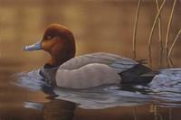 Redhead Duck Fine-Art Print