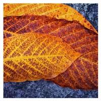 Three Leaves Fine-Art Print