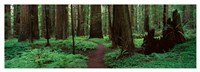 Redwoods Path Fine-Art Print