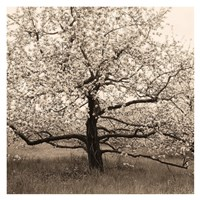 Apple Tree in Bloom Fine-Art Print