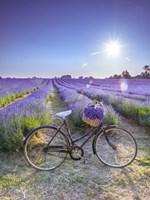 Lavender Fine-Art Print