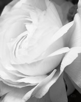 Black and White Petals II Fine-Art Print