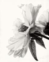 Translucent Peony IV BW Fine-Art Print
