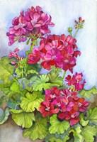 Bold Blue Sky Bright Geraniums Fine-Art Print