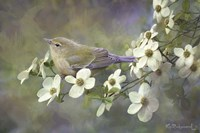 Orange Crowned Warbler On Dogwood Fine-Art Print