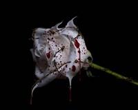 Bleeding Rose Fine-Art Print