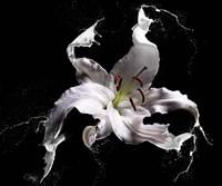 Lily Splash Fine-Art Print