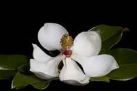 Magnolia Fine-Art Print