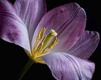 Peekaboo Tulip Fine-Art Print