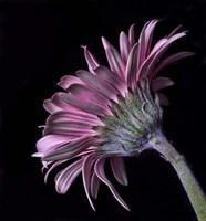 Pink Gerber Daisy Fine-Art Print