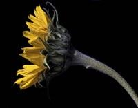 Sunflower Profile Fine-Art Print