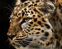 Amur Leopard Copy Fine-Art Print