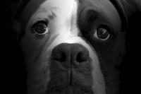 Boxer Pup Fine-Art Print