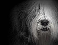 Sheepdog Fine-Art Print