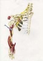Brachial Plexus Fine-Art Print