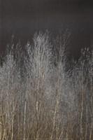 Silver Forest III Fine-Art Print
