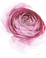 Pink Lady IV Framed Print