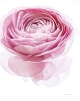 Pink Lady I Framed Print