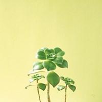 Succulent Simplicity IX Fine-Art Print
