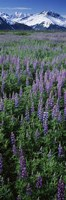 Lupine Flowers in Bloom, Turnagain Arm, Alaska Fine-Art Print