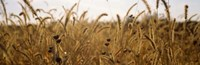 Prairie Grass in a Field Fine-Art Print