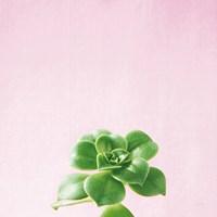 Succulent Simplicity VII on Pink Fine-Art Print